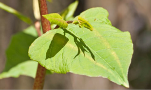 testing himalayan-balsam